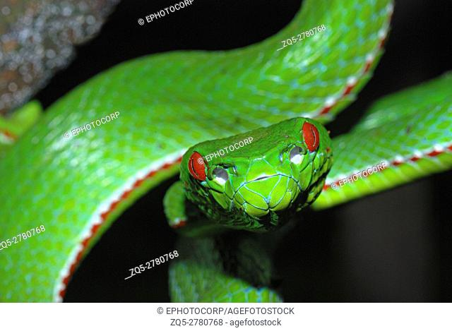 Pope's Pit Viper, Trimeresurus popeiorum, is generally encountered at night above an elevation of 800 metres. A venomous pit viper, Khellong, Arunachal Pradesh