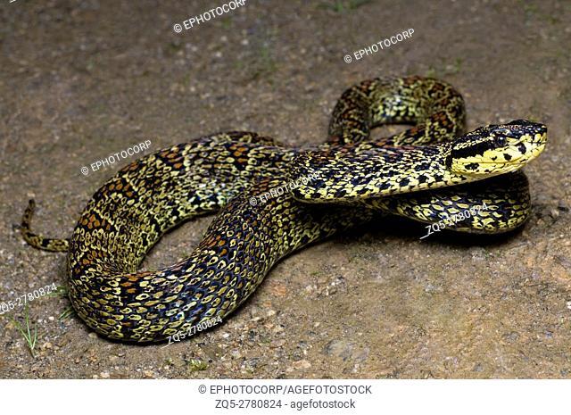 RED SPOTTED PIT VIPER. Trimeresurus jerdonii. Venomous. Jerdon's Viper
