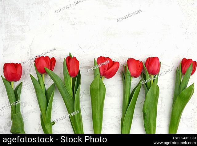 bouquet of red blooming tulips with green stems and leaves on a white cement background. Festive backdrop for birthday, Valentine's day, anniversary
