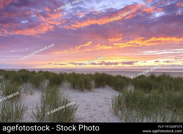 Beach and marram grass / beachgrass (Ammophila arenaria) in the dunes on Texel at sunset, West Frisian Island in the Wadden Sea, the Netherlands