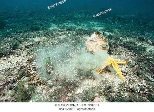 Scallop (Pecten maximus) running awat from Common Starfish (Marthasterias glacialis). Galicia, Spain
