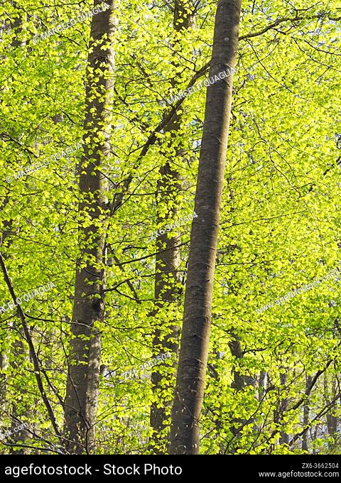 Springtime beech forest (Fagus sylvatica) at El Convent site. Montseny Natural Park. Barcelona province, Catalonia, Spain