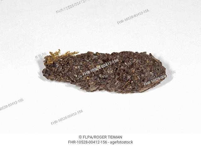 European Hedgehog (Erinaceus europaeus) dropping