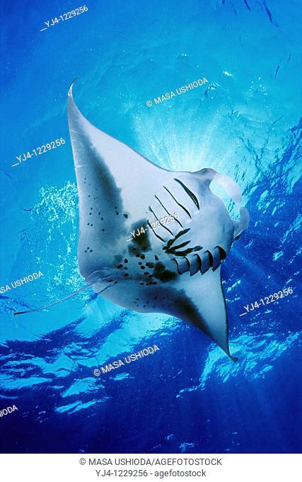 manta ray, feeding on plankton, Manta birostris, Kona Coast, Big Island, Hawaii, USA, Pacific Ocean