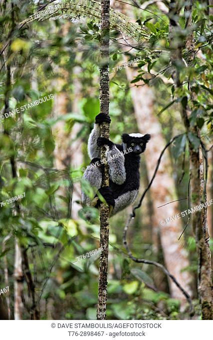 Indri, the largest species of lemur, Mitsinjo Reserve, Madagascar