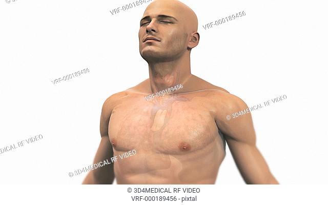 Animation depicting diseased lungs due to smoking. The camera zooms in as the body fades to reveal the lungs