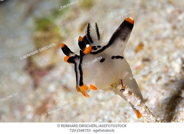 Neon Sea Slug, Thecacera picta, Triton Bay, West Papua, Indonesia