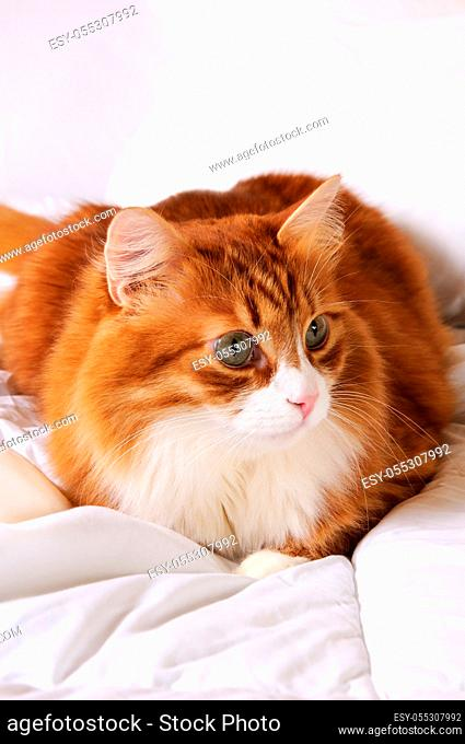 Fluffy red-headed cat resting on a bed in a white bed
