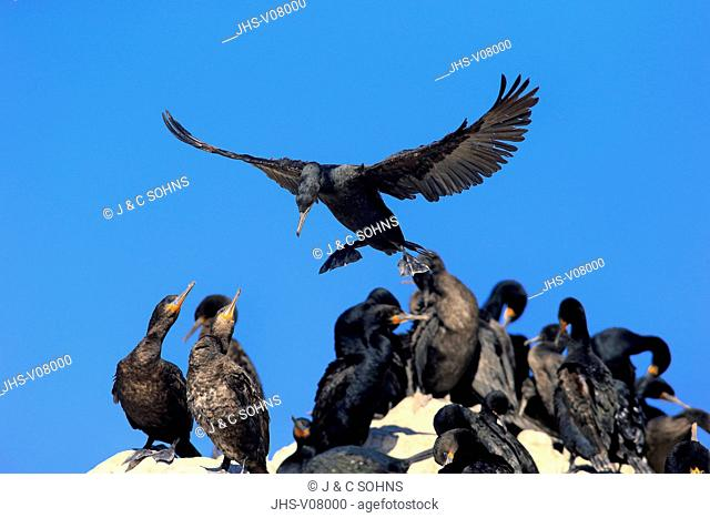 Cape Cormorant, Cape shag, (Phalacrocorax capensis), adult flying, landing approach, Betty's Bay, Western Cape, South Africa, Africa
