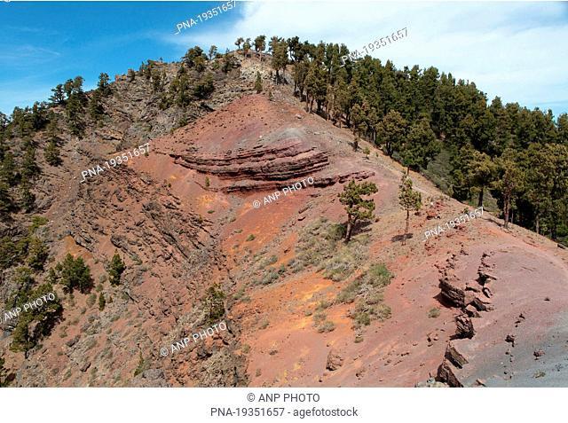 Canary Island pine Pinus canariensis - Caldera de Taburiente National Park, La Palma, Canary Islands, Spain, Europe