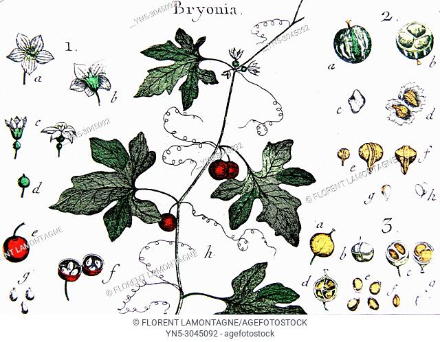 Old botanical board of bryonia plant