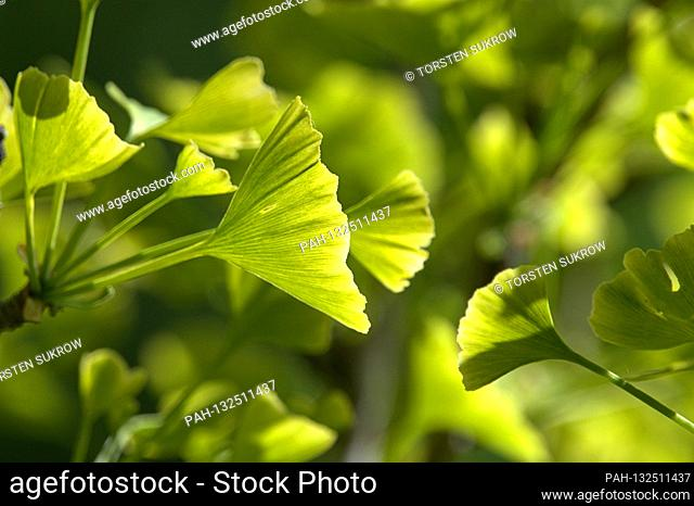 May 19, 2020, Schleswig-Holstein, Schleswig: Close-up of some freshly sprouting ginkgo leaves on a ginkgo tree in spring