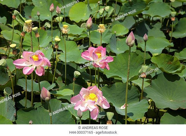 Seerosen (Nymphaea-capensis), Lotusgarten Thap Cham, Ninh Thuan, Vietnam