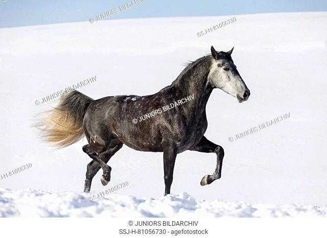 Pure Spanish Horse, Andalusian. Gray mare trotting in snow. Germany