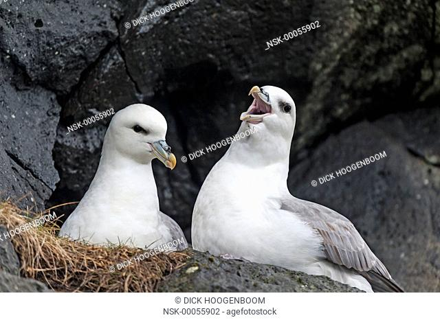 Fulmar (Fulmarus glacialis) calling at other birds that comes to close to the nest, Iceland, Coast