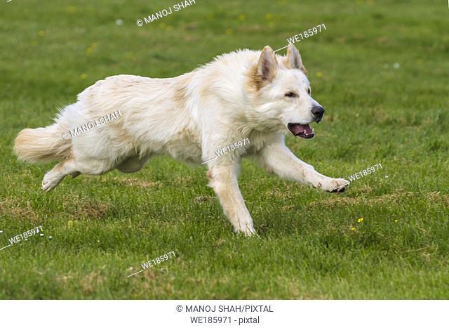 White German Shepherd running
