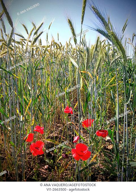 Poppies in the wheat field, Miajadas, Cáceres province, Extremadura, Spain