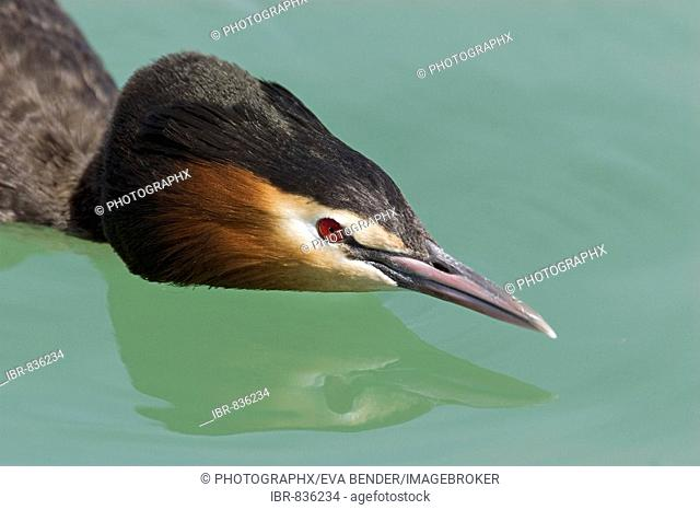 Great Crested Grebe (Podiceps cristatus), in threatening stance protecting its territory, portrait with reflection