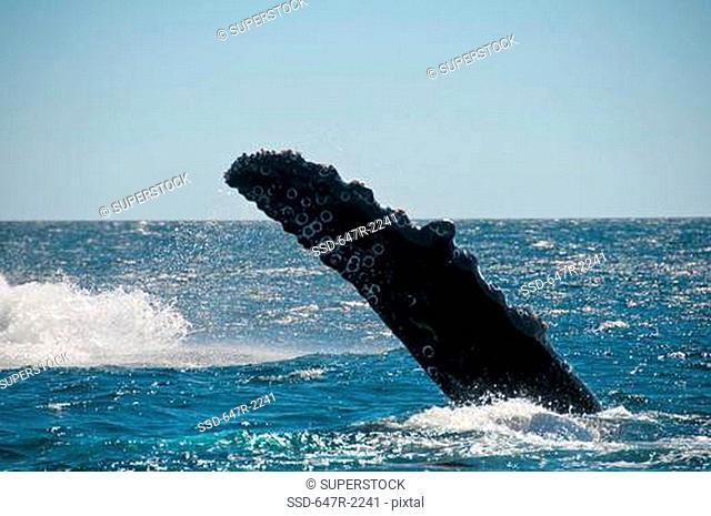 Mexico, Baja California Sur, Cabo Pulmo National Marine Park, fin of humpback whale megaptera novaeangliae