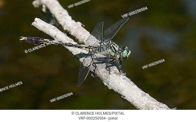 A male Unicorn Clubtail (Arigomphus villosipes) dragonfly perches by stream in spring