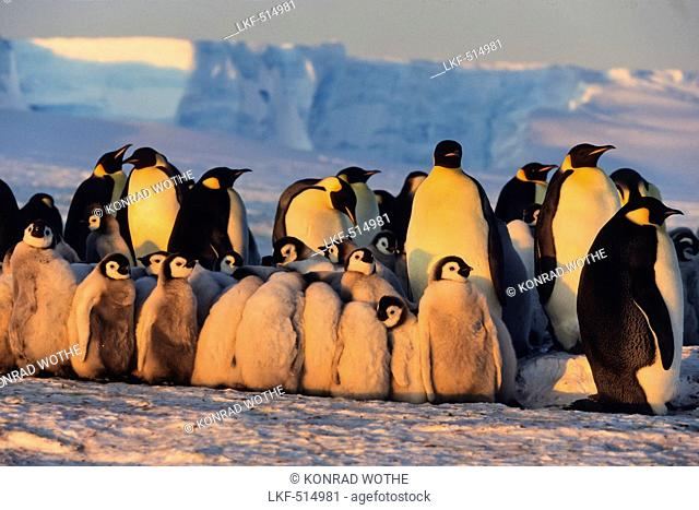 Emperor Penguins with chicks, Aptenodytes forsteri, iceshelf, Weddell Sea, Antarctic