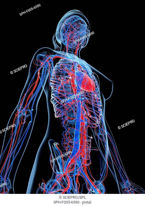 Female cardiovascular system, computer artwork