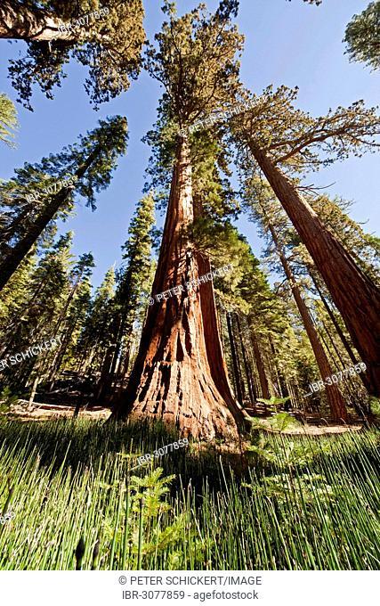 Giant Sequoia or Sierra Redwood (Sequoiadendron giganteum) in Mariposa Grove