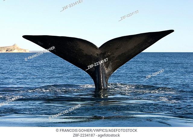 Southern Right Whale: tail flukes.Eubalaena australis.Valdes Peninsula, Province Chubut, Patagonia, Argentina