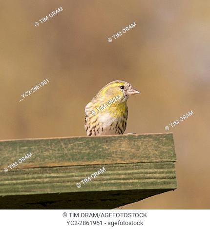 A Eurasian Siskin (Carduelis spinus) adult female on a bird table in the Uk