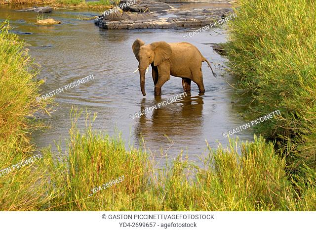 African Elephant (Loxodonta africana), in the river, Kruger National Park, South Africa