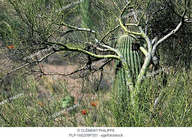 Saguaro cactus (Carnegiea gigantea) growing through branches of foothill palo verde / yellow paloverde (Parkinsonia microphylla) which act as a nurse tree by...