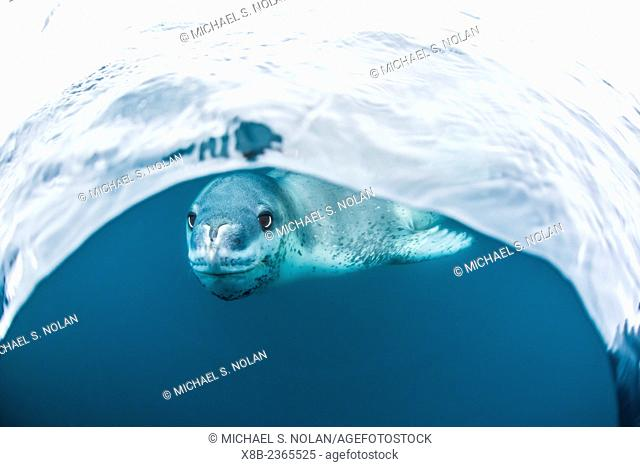 Adult leopard seal, Hydrurga leptonyx, inspecting the camera above and below water at Damoy Point, Antarctica