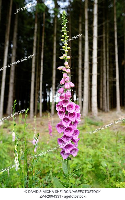 Close-up of a Common Foxglove (Digitalis purpurea) flowering in a forest in Oberpfalz, Germany