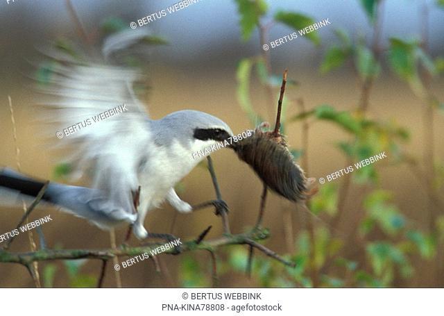 Great Grey Shrike Lanius excubitor
