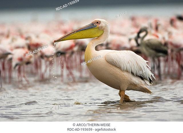 White Pelican, Lake Nakuru national park, Kenya, Pelecanus onocrotalus