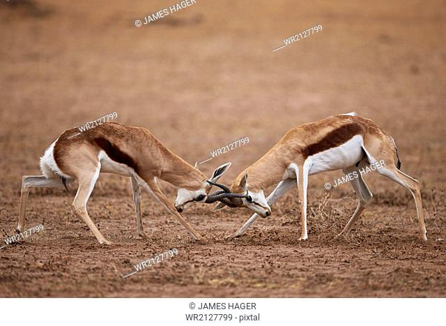 Two springbok (Antidorcas marsupialis) bucks fighting, Kgalagadi Transfrontier Park, encompassing the former Kalahari Gemsbok National Park, South Africa