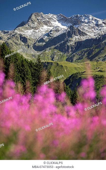 Willowherb, epilobium, blooming framing Suretta Group, located between Italy, Sondrio province, Lombardy, Italy, Europe, and Switzerland, Hinterrhein district