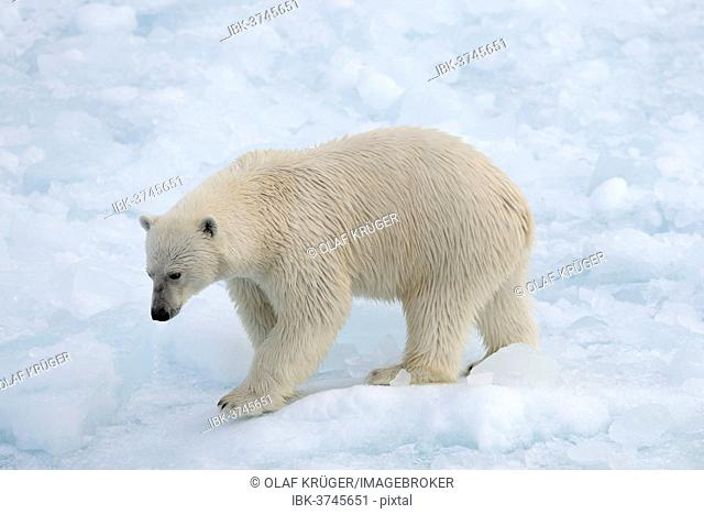 Polar Bear (Ursus maritimus) walking on pack ice, Spitsbergen Island, Svalbard Archipelago, Svalbard and Jan Mayen, Norway