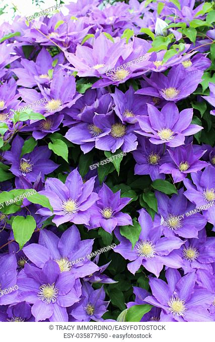 Close up of flowering purple Clematis