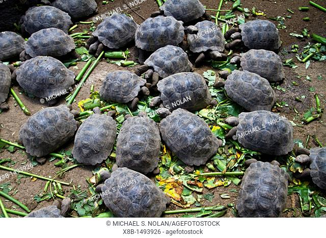 Young Captive Galapagos giant tortoise Geochelone elephantopus being fed at the tortuguero breeding station just outside Puerto Villamil on Isabela Island in...