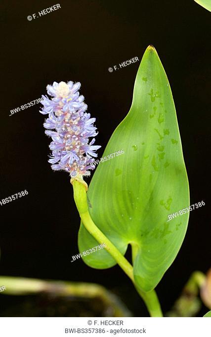 Pickerel Weed, Pickerelweed (Pontederia cordata), blooming