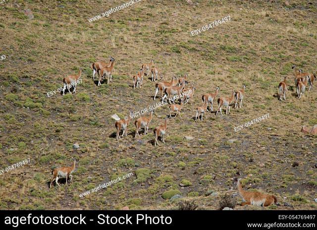 Herd of guanacos Lama guanicoe. Torres del Paine National Park. Ultima Esperanza Province. Magallanes and Chilean Antarctic Region. Chile
