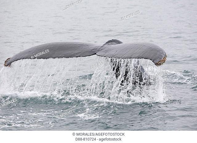 Humpback whale (Megaptera novaeangliae) caudal fin. Frederick Sound, Alaska, USA