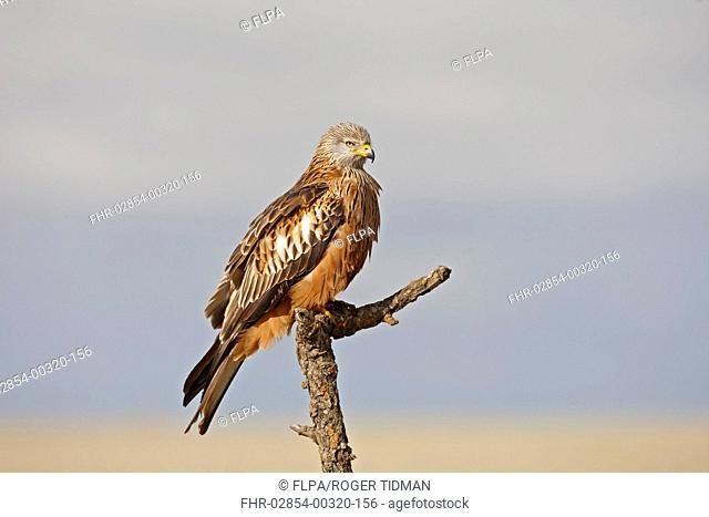 Red Kite Milvus milvus adult, perched on branch, Northern Spain, November