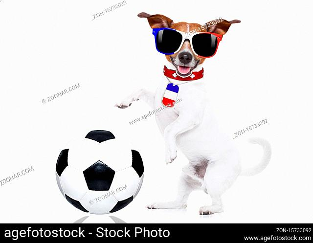 football championship jack russell dog with soccer football ball and french flag isolated on white background