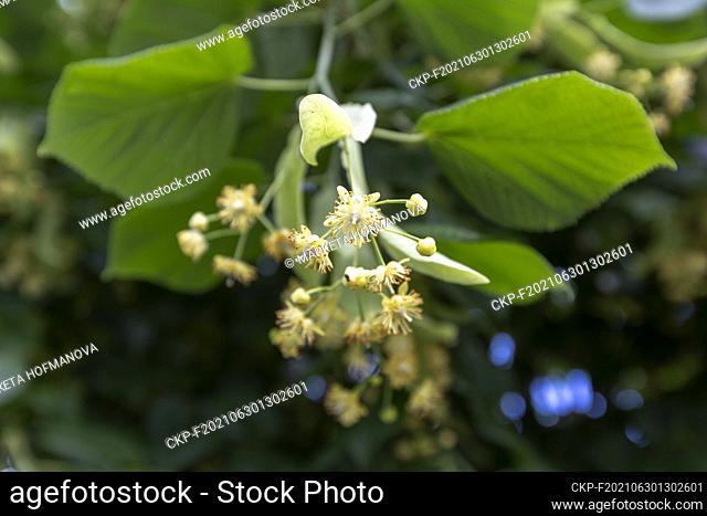 Small-leaved linden, Tilia cordata, nature, plants, flowers. (CTK Photo/Marketa Hofmanova)