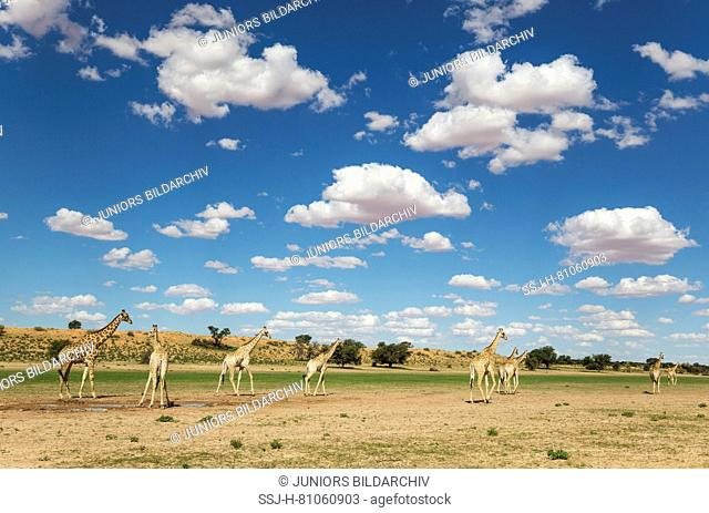 Southern Giraffe (Giraffa giraffa) Herd. Gathered at a rainwater pool in the Auob riverbed, cumulus clouds above