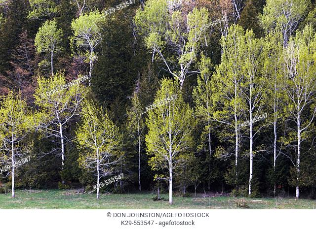 Hillside at edge of pasture with spring aspens and conifers. Manitoulin Is., Ontario, Canada