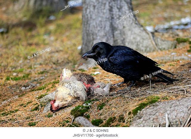 Common Raven, (Corvus corax), adult on ground feeding on carrion, Zdarske Vrchy, Bohemian-Moravian Highlands, Czech Republic