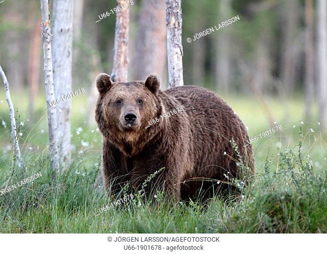 Finland, Kuhmo, Brown Bear (Ursus arctos)